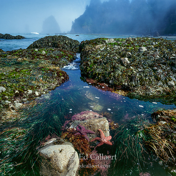Tidepool, Sea Stars, Ozette Beach, Olympic National Park, Washington