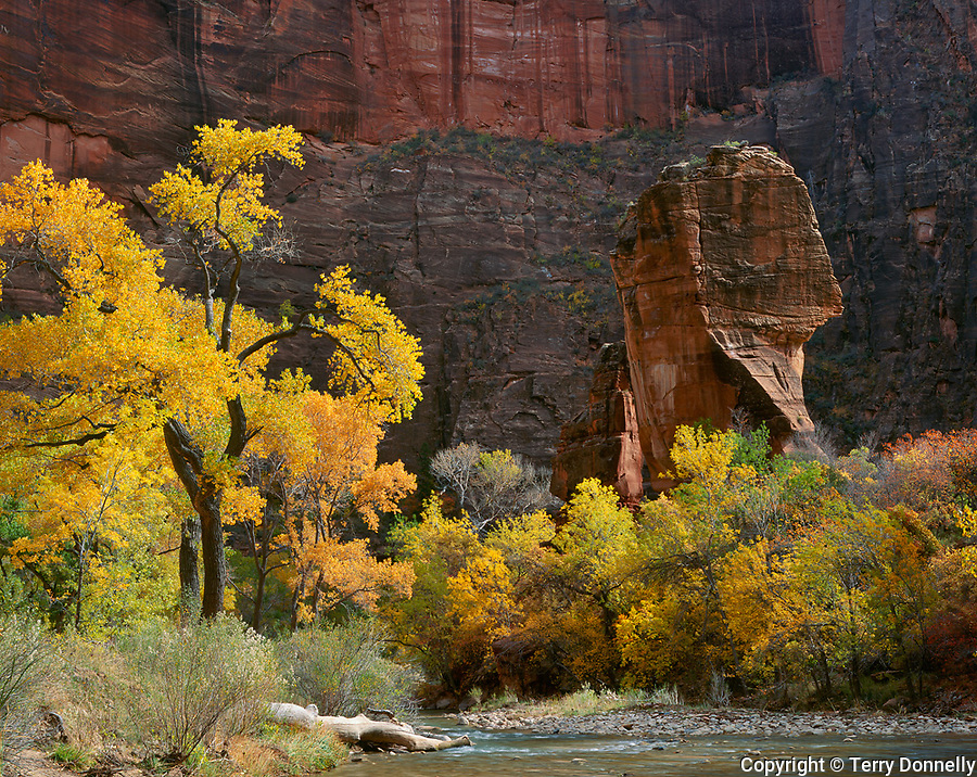 Zion National Park, UT:  Fall gold and green Cottonwoods along the Virgin River with the Pulpit in the Temple of Sinawava
