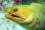 Gymnothorax funebris, Green moray, FL Keys