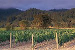 Vineyard at sunrise in Napa Valley, near St. Helena, Napa County, California