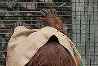 An orangutan at Tama Zoo, Hino, Tokyo, Japan Sunday, March 24th 2013