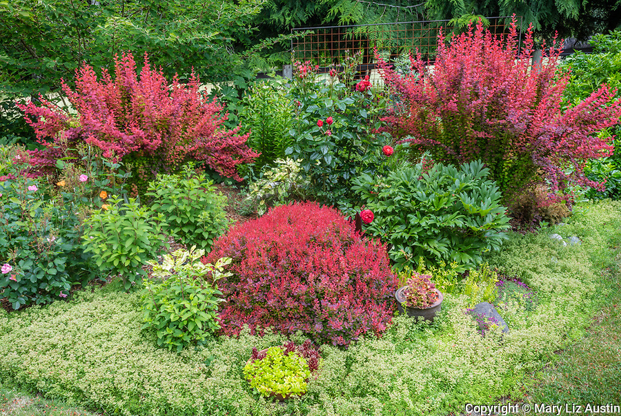 "Vashon-Maury Island, WA: Summer perennial garden featuring red barberries 'Ruby's Gold' and 'Orange Rocket', sedums, Hydrangea 'Bobo"", roses and peonies"