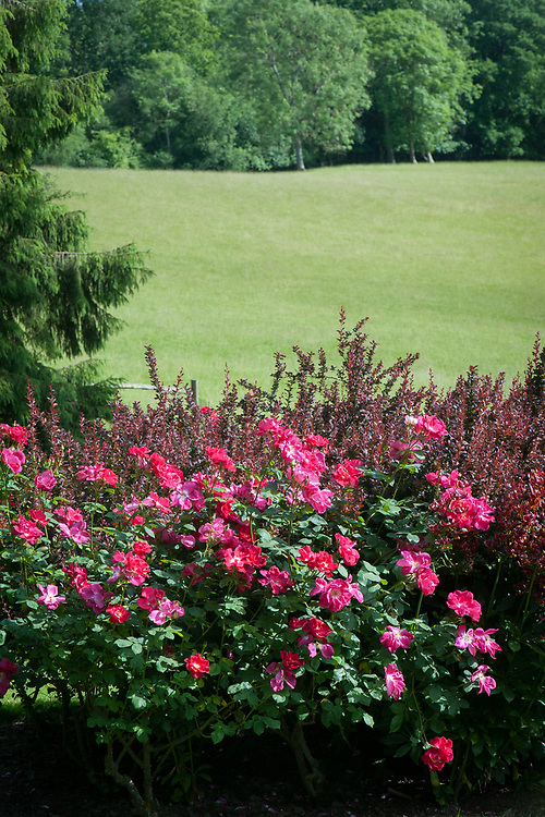Rosa Red Coat ('Auscoat'), mid June. A modern shrub rose with bright crimson flowers.
