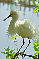 Photograph of backlit Snowy Egret enjoying the late afternoon sun in St. Augustine, Florida.