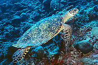 Hawksbill Turtle, Eretmochelys imbricata, Ari Atoll, Maldives, Indian Ocean