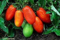 HS09-037a   Tomato - paste tomato, LaRossa variety