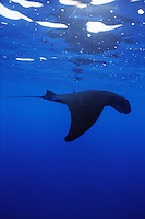 Manta Ray (Manta birostris) flys through the waters of San Benidicto Island, in the Revillagigedos Islands, off Baja, Mexico.