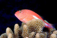 arc-eye hawkfish, Paracirrhites arcatus, Kona, Big Island, Hawaii, Pacific Ocean