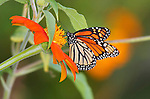 Monarch Butterfly On An Orange Flower,  Danaus plexippus