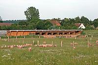 Hausschwein, Haus-Schwein, Artgerechte Tierhaltung auf Bio-Bauernhof, Bauernhof, Glückliche Schweine, Schwein, Schweine können ihren Stall jederzeit verlassen und auf eine Weide gehen, hog, pig, pigs, swine