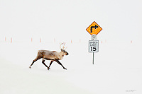 A caribou makes its way across an ice road on Alaska's north slope.