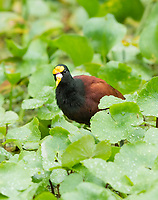 Northern Jacana, Jacana spinosa, walks in aquatic plants on the Tortuguero River (Rio Tortuguero) in Tortuguero National Park, Costa Rica