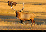 Bull Elk and Bison at Sunset, Norris Junction, Yellowstone National Park, Wyoming