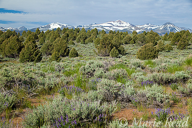 Sagebrush (Artemisia tridentata) scrub habitat, with Pinyon Pine/ Juniper woodland in background, Mono Lake Basin, California, USA