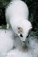 MA06-077x  Short-Tailed Weasel - ermine exploring forest for prey in winter - Mustela erminea