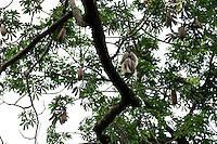 BURKINA FASO, Bobo Dioulasso, Kapok tree, the fibre of the fruit is used as filling material for mattresses, lifevest and others / Kapok Baum, die Kapokfasern haben eine Länge von bis 35 Millimeter und bestehen zu 64% aus Cellulose und Hemicellulose und koennen  als Füllmaterial für Rettungsringe, Schwimmwesten und Matratzen oder als Polster- und Isoliermaterial genutzt werden