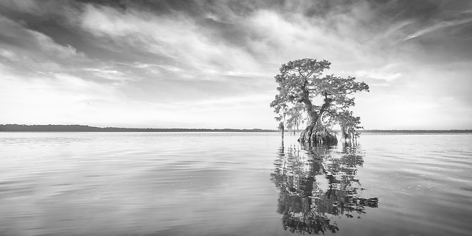 A lone cypress emerges from the swamplands of central Florida on a summer morning.