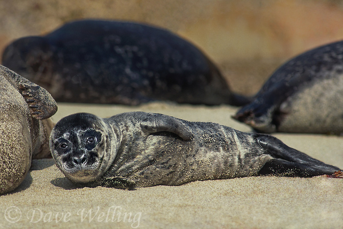 67882013 a wild two day old harbor seal pup lays on a sandy beach at children's cove la jolla on the pacific ocean in southern california