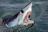 shortfin mako shark, Isurus oxyrinchus, with open jaws, Cape Point, South Africa