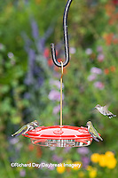 01162-12502 Ruby-throated Hummingbirds (Archilochus colubris) at feeder by flower garden, Marion Co.  IL