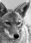 Coyote, Canis latrans, prairie wolf, North America, barking dog, coyote, Animal, wild animals, domestic animals,  Fine Art Photography, Ronald T. Bennett (c) Fine Art Photography by Ron Bennett, Fine Art, Fine Art photography, Art Photography, Copyright RonBennettPhotography.com ©