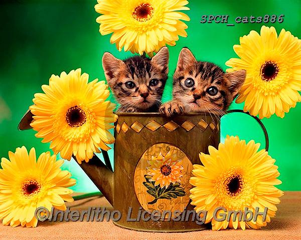 Xavier, ANIMALS, REALISTISCHE TIERE, ANIMALES REALISTICOS, cats, photos+++++,SPCHCATS886,#a#, EVERYDAY