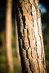 Pine trunk, Seville, Spain