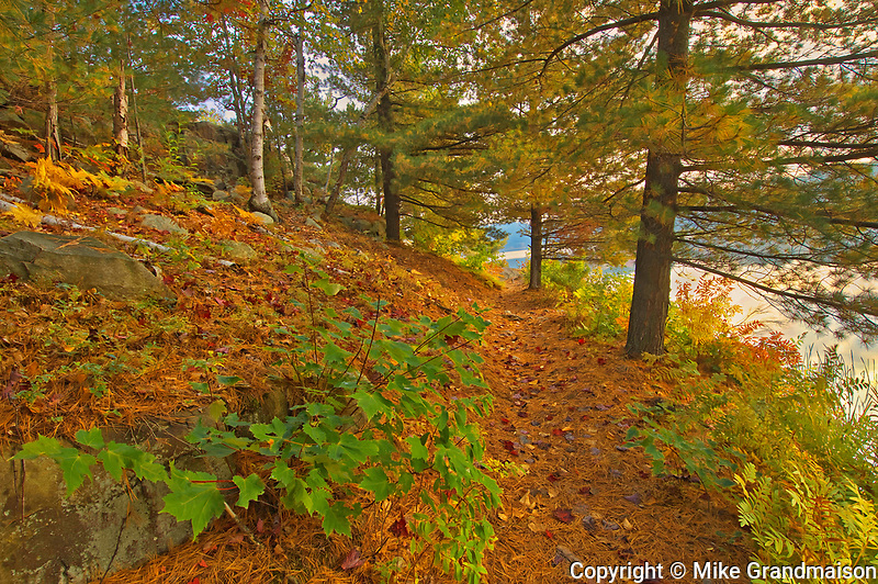 Trail  at George Lake covered with hHite pine tree needles in autumn<br />
