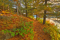 Trail  at George Lake covered with hHite pine tree needles in autumn<br />Killarney Provincial Park<br />Ontario<br />Canada