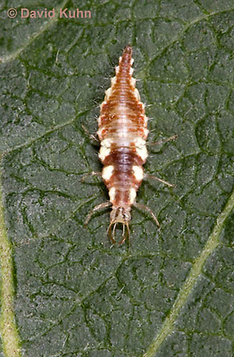 0109-0921  Green Lacewing Larva (Young Instar), Chrysoperla spp. (Chrysopa spp.)  © David Kuhn/Dwight Kuhn Photography