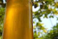 Semente da Andiroba Árvore de grande porte, que chega a atingir 30 metros de altura. O fuste (parte que vai do solo aos primeiros galhos) é cilíndrico e reto. A casca é grossa, tem sabor amargo e desprende-se facilmente em grandes placas. Copa de tamanho médio e bastante ramosa. A inflorescência é uma panícula (espécie de cacho). As flores têm cor creme e o fruto é uma cápsula que se abre quando cai no chão, liberando de quatro a seis sementes. Floresce de agosto a outubro na Amazônia e frutifica de janeiro a maio. Porém, há muitas variações dependendo da região.É nativa da Amazonia.O oleo e as gorduras são extraidos e utilizados para a produção de: REPELENTES DE INSETOS, ANTISSEPTICOS, CICATRIZANTES e ANTIINFLAMATORIOS.Salvaterra, Marajó, Pará, BrasilFoto Paulo Santos/Interfoto01/11/2008