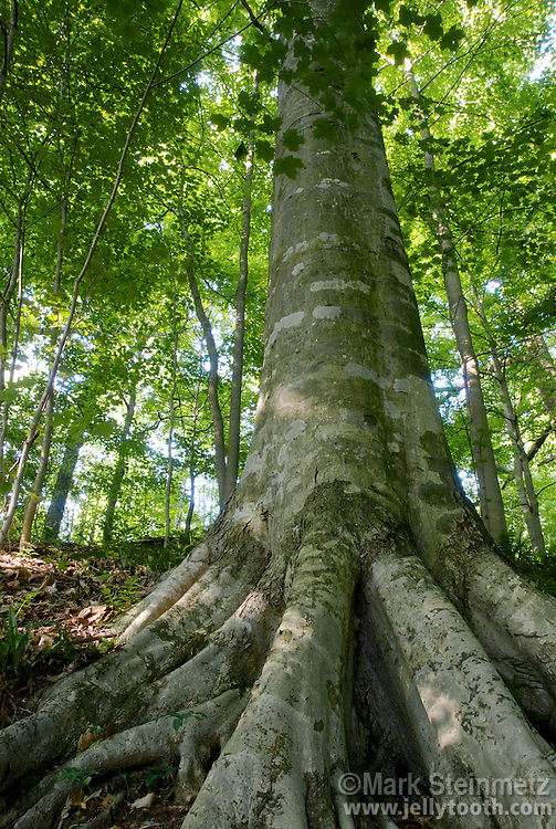 Low-angle view of the roots and trunk of a mature American Beech (Fagus grandifolia) tree in a riparian forest along Sugar Creek, Shades State Park, Indiana, USA