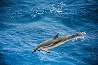 striped dolphin, Stenella coeruleoalba, leaping, Atlantic Ocean