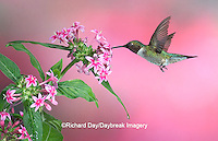 01162-10115 Ruby-throated Hummingbird (Archilochus colubris) male on Pink Pentas (Pentas lanceolata)  Marion Co. IL