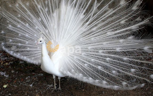 A white peacock displays its tail feathers at a local breeding farm in Khan Younis in the southern Gaza Strip, May 5, 2015. Male peacocks display and shake its tail feather to attract attention to female peahens during courtship. Photo by Abed Rahim Khatib