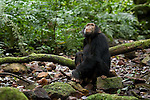 Africa, Uganda, Kibale National Park, Ngogo Chimpanzee Community. Wild Chimpanzee, young male by stream