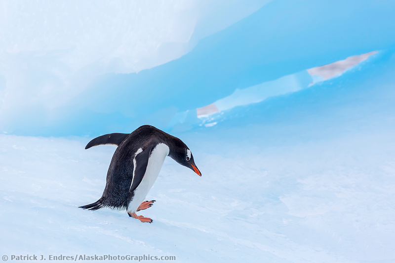 Penguin walks on blue iceberg in Cierva Cove, Antarctica