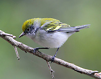 First winter female chestnut-sided warbler