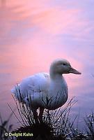 DG13-028x  Pekin Duck - young immature duck