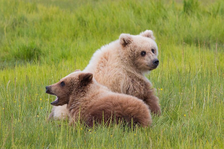 Brown bear cubs at Lake Clark National Park, Alaska