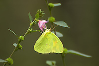 This very common large yellow butterfly is found across a huge range, from Southern Ontario in Canada to as far south as Argentina. This individual is a male (the female has slightly more of a pattern on the underside of the wings, but not much) and was photographed feeding on caesarweed nectar just outside of Naples, Florida on the outskirts of the Corkscrew Swamp.