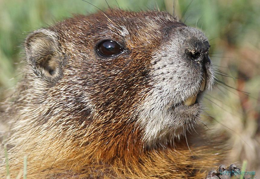 Yellowbelly Marmot