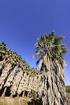 Israel, Menashe Heights, Washington Palm (Washingtonia robusta) trees in Ein Parur by Hashofet stream