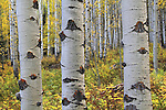Autumn aspen forest in Maroon Bells Valley, Elk Mountains, near the town of Aspen, Colorado, USA .  John offers private photo tours and workshops throughout Colorado. Year-round.