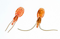 parasitic copepods, unidentified, captured from the outer skin of mahi mahi, common dolphinfish or dorado, Coryphaena hippurus, Hawaii, Pacific Ocean