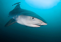 tiger shark protecting and eye before attacking, Galeocerdo cuvier, Aliwal Shoal, Kwazulu-Natal, South Africa ( Indian Ocean )