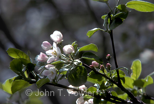 Apple blossoms<br />