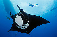 manta ray photos