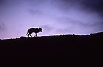 Silhouetted Coyote (Canis latrans) walking along ridge. Yellowstone National Park, WY