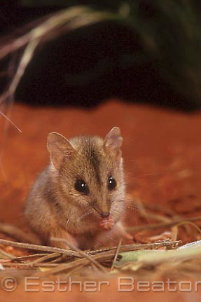 Sptriped-faced Dunnart (Sminthopsis macroura) Simpson Desert, Northern Territory